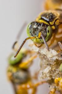 Macro fotografia abelha jataí